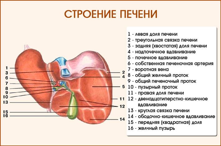 Печень: строение органа