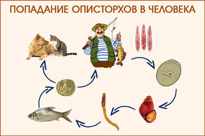 Цикл жизни описторхов