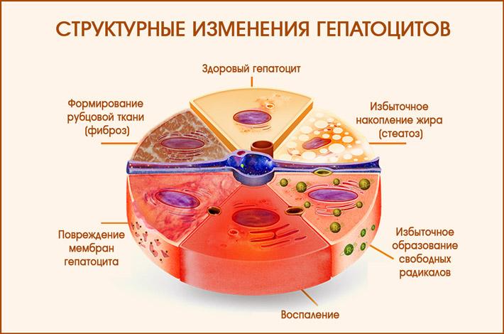 Изменения в структуре гепатоцитов
