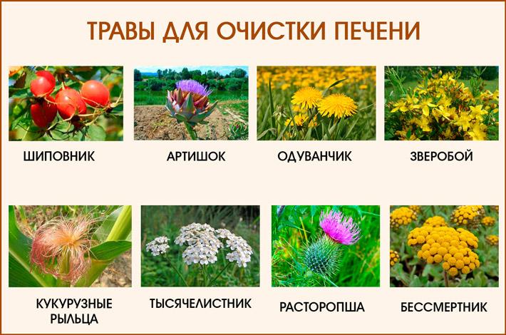 Травы, используемые для очистки печени