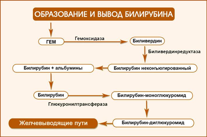 Как образуется билирубин