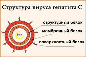 Структура вируса гепатита С
