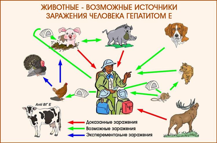 Животные - возможные источники заражения человека гепатитом Е
