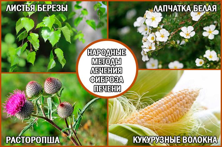 Лечение фиброза печени народными средствами