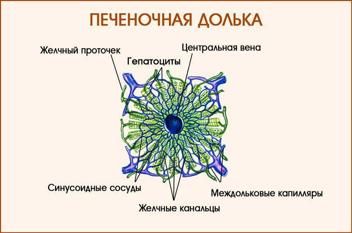 Печеночные клетки