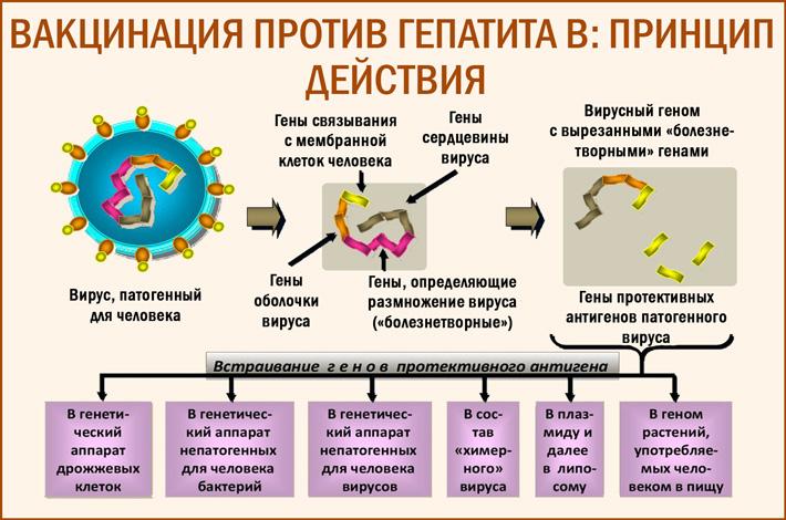 Принцип действия вакцинации против гепатита В