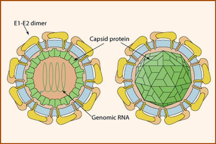 Гепатит с: вирус