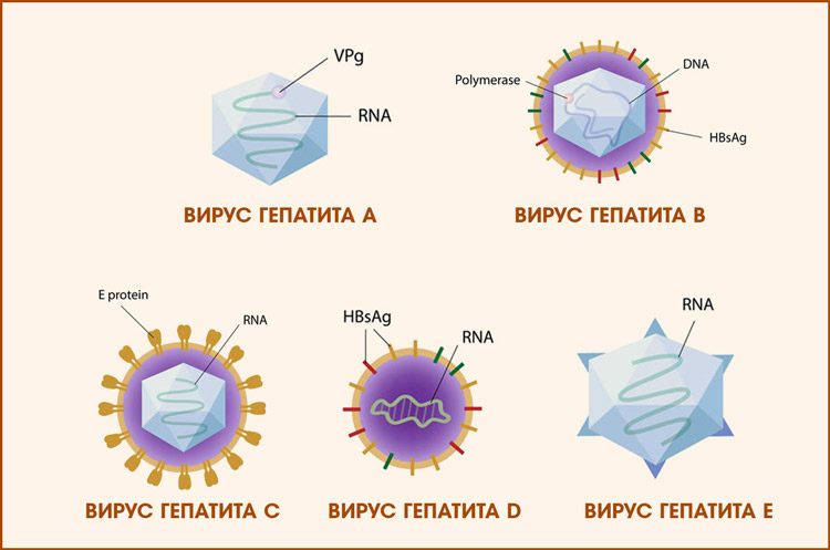 Вирусы гепатита А, Б, С, Д, Е