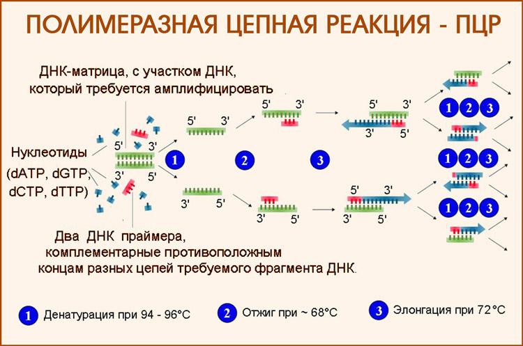 Полимеразная цепная реакция