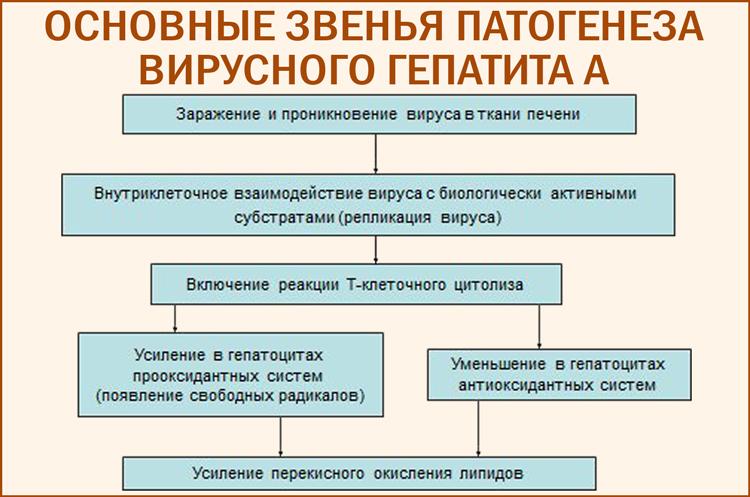 Патогенез гепатита А